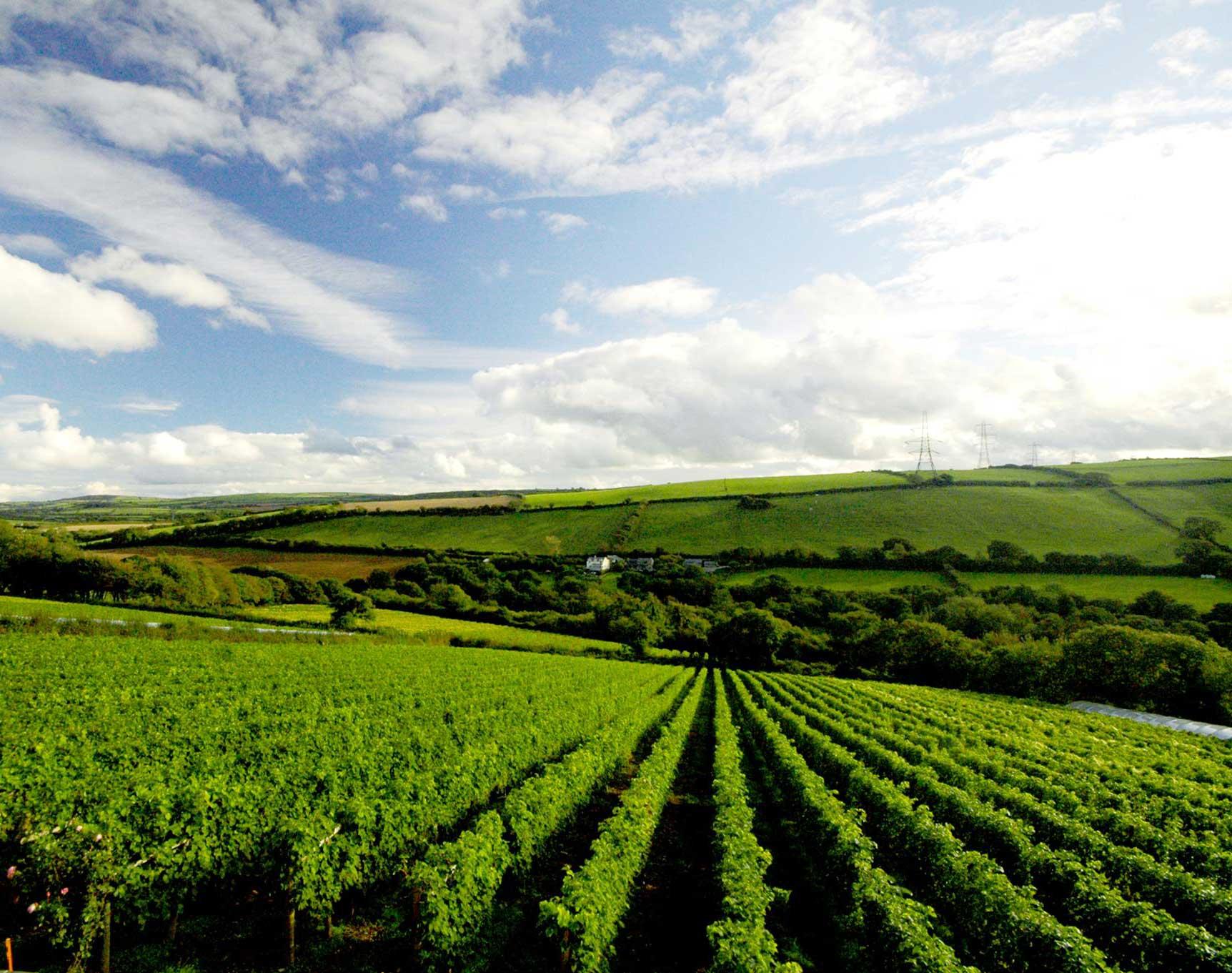 camel-valley-vineyard